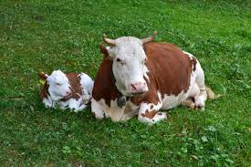 cow family